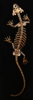 Cryptozoology (lizard skeleton)